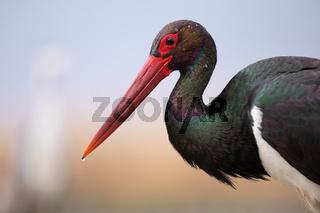 Portrait of wet black stork with water droplets on dark plumage in wetland