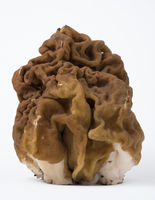 Spring mushroom morel on white background. Close up view.