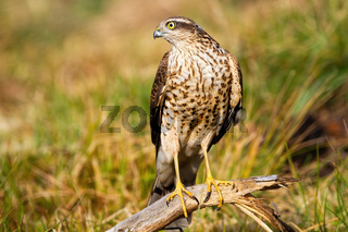 Interested eurasian sparrowhawk looking aside in nature with grass in background