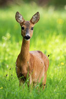 Lovely roe deer doe standing on meadow in the summer nature.