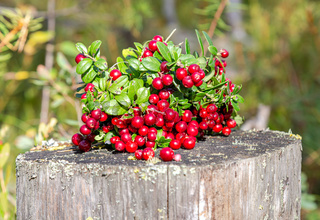 Ripe red cowberry shrub with berries