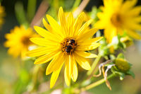 Bee on blooming yellow flowers of sunflower aster family