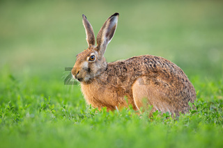Brown hare resting in clover in springtime nature.