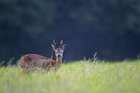 A physically weak Roebuck grazes in the evening light on a meadow
