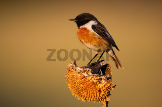 Little european stonechat male sitting on a dry sunflower in morning light
