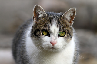 curious domestic cat head closeup with short depth of field