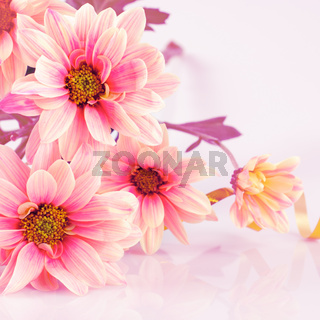 Pink daisy with gold ribbon