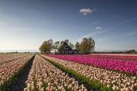 beautiful tulip field by dutch farmhouse