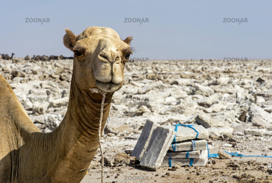 Dromedary waiting to be loaded with salt plates,Danakil Depression, Afar Region, Ethiopia