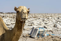 Dromedary waiting to be loaded with salt slabs for transportation,Danakil Depression,Ethiopia