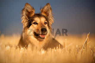 Hund im Stoppelfeld