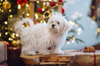 Small white terrier on the background of the Christmas tree