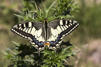Papilio machaon, Swallowtail butterfly from Italy
