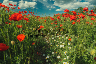Field of poppy flowers and daisies