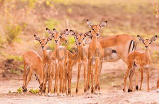 Herd of baby impala
