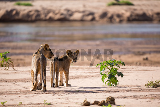 Some lions walk along the banks of a river