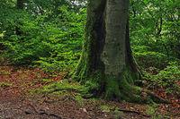 Beech trunk