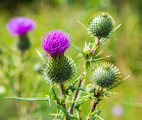 Medicinal plant thistle