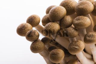 Brown beech mushrooms, Shimeji mushroom