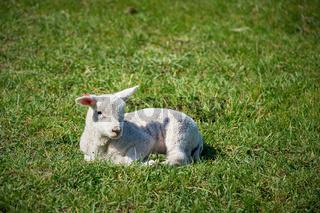 einzelnes neugeborenes Lamm auf einer grünen Wiese