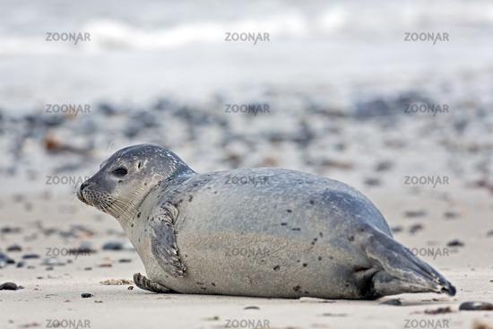 Harbour Seal on a sandy beach / Phoca vitulina  -  Phoca vitulina vitulina