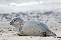Harbour Seal on a sandy beach / Phoca vitulina  -  Phoca vitulina vitulina