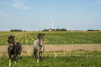 Two Horses on a Meadow in Rural Landscape, Nordstrand, North Frisia, Germany