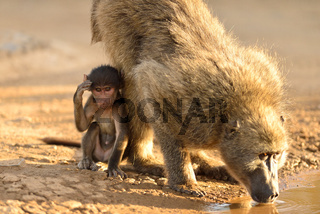 Baby baboon by the car tire