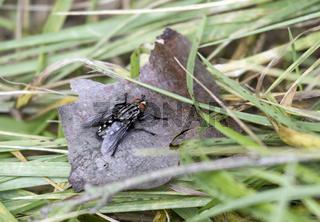 graue Fleischfliege, Wahnbachtalsperre, Rheinland, NRW, Deutschland
