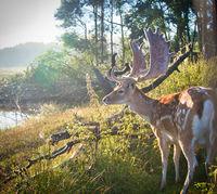 Fallow deer stag