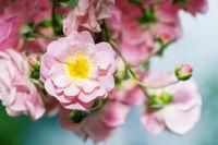 Pink rose flower bush