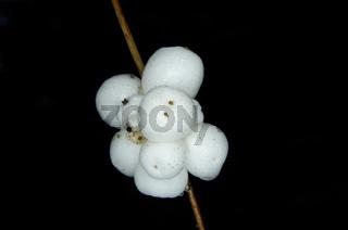 Früchte der gemeinen Schneebeere