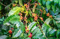 Bunch of colorful arabica coffee fruit on branches of coffee tree.