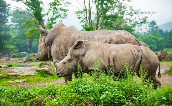 Rhino family walking in nature.
