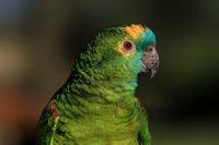 green parrot close up