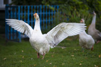 Domestic village goose flaps its wings. White goose.