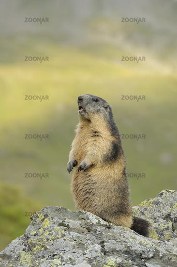 Marmot, Austria, Europe