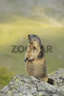 Murmeltier, Nationalpark Hohe Tauern, Österreich