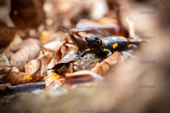 Little fire salamander standing on leafs in autumn.