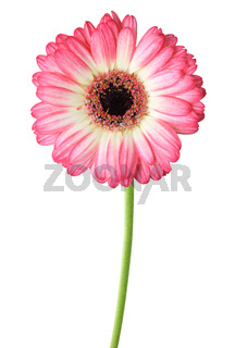 Wonderful Gerbera (Daisy) isolated on white background, including clipping path. Germany