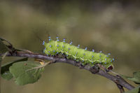 giant peacock moth - caterpillar