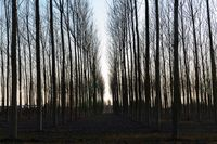 rows of bare trees in the countryside at dusk