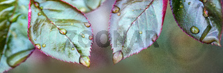 Rose leaves after rain with big and small clear water drops close up.