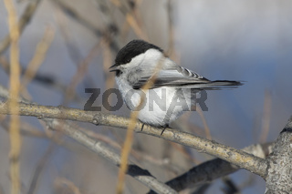 willow tit who sits on a branch on a winter day