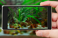 Aquarium on smartphone screen. Plants and fish in freshwater aquarium.