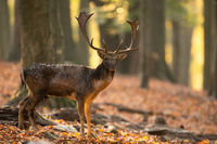 Majestic fallow deer standing in forest in fall nature.