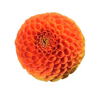 Tangerine dahlia, isolated