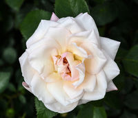 Beautiful delicate pale white creamy rose flower close up