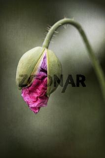Einzelne Mohnblume im Garten mit überlagerter Textur