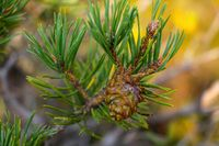Beautiful young green cone in a pine forest.